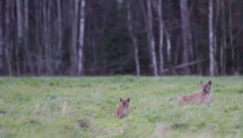 Rahuloleva metsamehe lugu